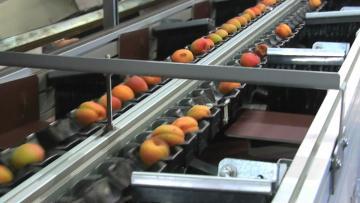 Seranne - calibrage poids - 2 lignes abricot