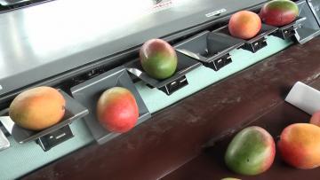 Sortie de la mangue sur table de réception à inclinaison réglable