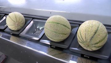 Pesée du melon