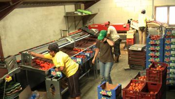 Calibfruit 4m - tomate